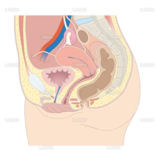 女性の尿道 (Sサイズ)
