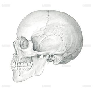 頭蓋骨側面(Sサイズ)