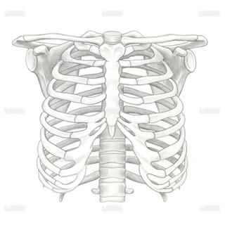 胸郭、上肢帯(Sサイズ)