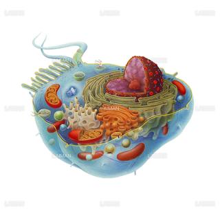 細胞(Sサイズ)