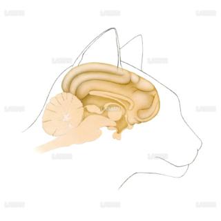 猫の脳(Mサイズ)