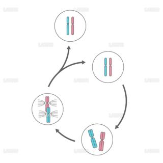 体細胞分裂(Mサイズ)