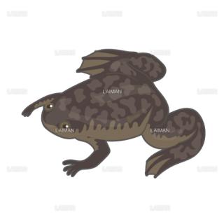 アフリカツメガエル(Sサイズ)