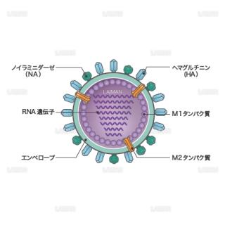 インフルエンザウィルス(構造・文字あり)(Mサイズ)