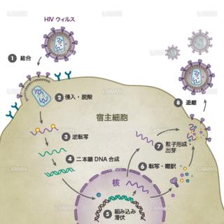 HIVウィルス(生活環・文字あり)(Mサイズ)