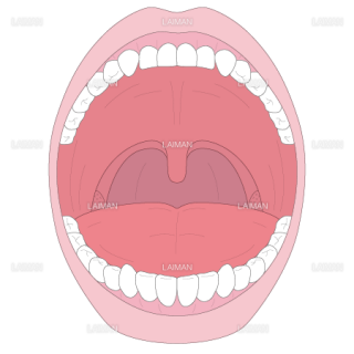 口腔の構造(Mサイズ)