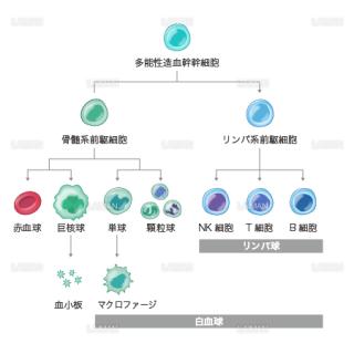 造血幹細胞と分化(Mサイズ)