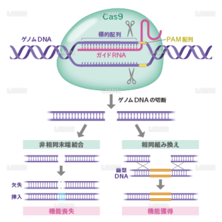 CRISPR/Cas9によるゲノム編集 (Mサイズ)