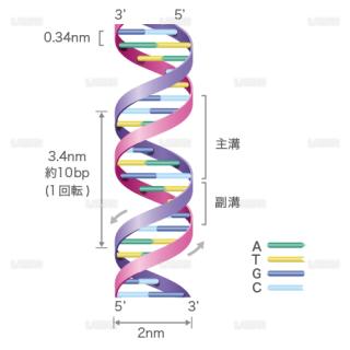 DNAの構造(文字入り) (Sサイズ)