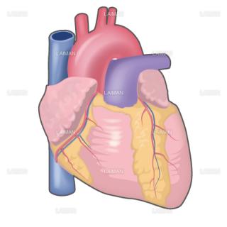 心臓外観 (Mサイズ)