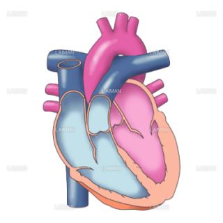 心臓の断面図(Sサイズ)