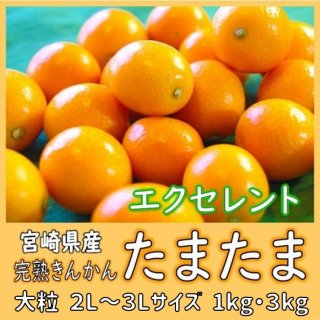 ◆送料無料◆完熟きんかん「たまたま」エクセレント 宮崎県産 1箱/約1kg