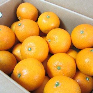 清見タンゴール L 5kg 家庭用 樹上越冬栽培 三崎 清見オレンジ 一部地域送料無料
