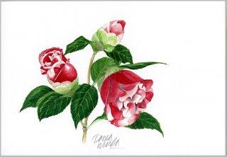 ポストカード「赤い八重の椿の花」.abc