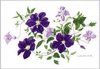 ポストカード「紫のクレマチス2012」.abc