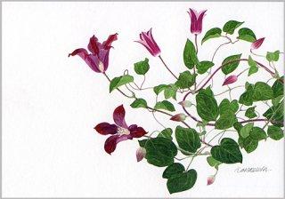 ポストカード「赤い花のクレマチス」.abc
