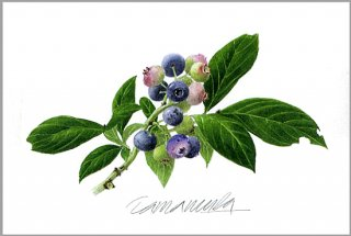 ポストカード「ガーデンのブルーベリー」.abc