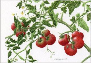 ポストカード「畑のトマト」.abc