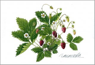 ポストカード「森のイチゴ」.abc