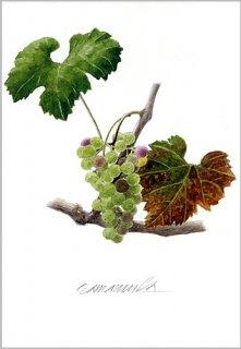 ポストカード「秋を迎えるブドウ」.abc