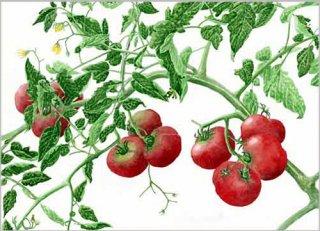 版画 「畑のトマト」.abc