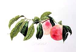 版画 「収穫された二つの桃」.abc