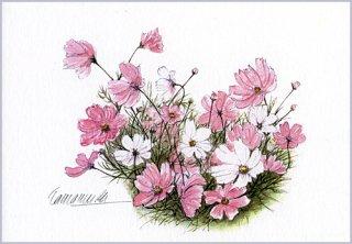 ポストカード「秋桜」.abc