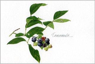 ポストカード「ブルーベリーの小枝」.abc
