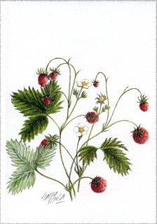 ポストカード「森のイチゴ1994」.abc
