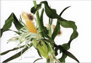 ポストカード「畑のトウモロコシ」.abc