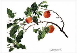 ポストカード「スモモの枝」.abc