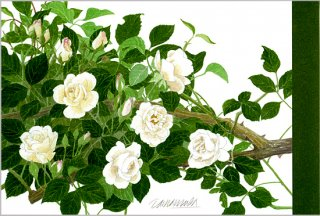 ポストカード「アイスバーグ(白薔薇)」