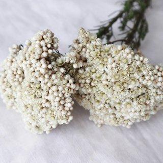【花材】ライスフラワー・ホワイト