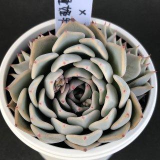 リラシナ×沙羅姫牡丹 現物商品
