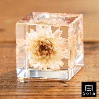 宙-sola- Sola cube カイガラソウ