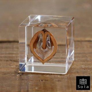 宙-sola- Sola cube オニグルミ
