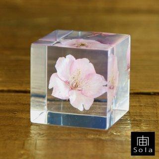 宙-sola- Sola cube サクラ(カワヅザクラ)