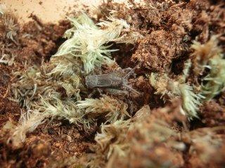 ヒメコオロギ成虫♀1匹(♀のため鳴きません)【ご入金後2日以内に発送】