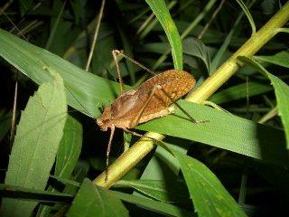 クツワムシ成虫(褐色型)♂1匹【ご入金後2日以内に発送】