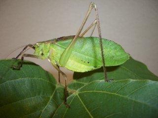 クツワムシ成虫(緑型)♂1匹【ご入金後2日以内に発送】