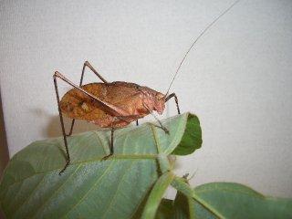 クツワムシ成虫(褐色型)1ペア【8月上旬〜10月中旬販売・ご入金後2日以内に発送】