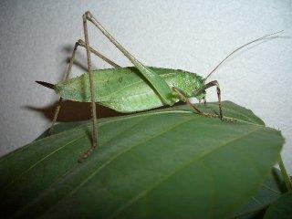 クツワムシ成虫(緑型)♀1匹(♀のため鳴きません)【ご入金後2日以内に発送】