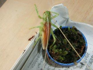 コロギス成虫♀1匹