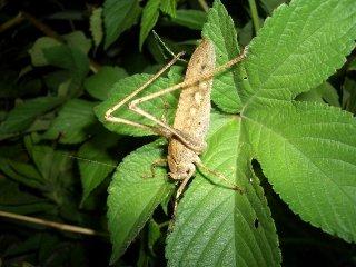 クツワムシ成虫(褐色型)♀1匹(♀のため鳴きません)【ご入金後2日以内に発送】
