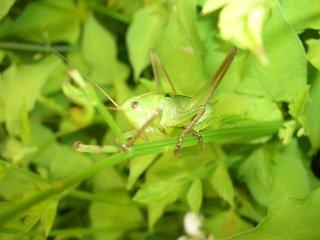 キリギリス幼虫3匹【ご入金後2日以内に発送】