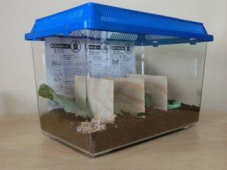 送料込み スズムシ産卵用飼育セット♀10匹(飼育ケース・エサ・経木・飼育説明書付き)※♀のため鳴きません(ご入金2日後以内に発送)