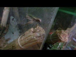 マツムシ産卵シーン