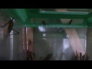 変わったマツムシの鳴き声