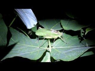 鳴いているクツワムシ緑型