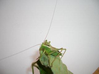 ヤブキリ幼虫1ペア【ご入金後2日以内に発送】